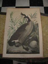 Vintage Antique After JJ Audubon Canada Goose Print