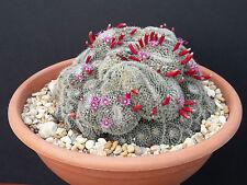Mammillaria perbella rare flower cacti pincushion globular cactus seed 100 SEEDS