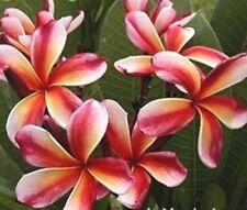 "5 Fresh Seeds Frangipani Plumeria ""Choco Delight"""