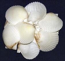 "White Scallop,Clam,Cockle Half Shells ~1-1/2""-2""  Craft Seashells  10/25/50 Pcs."
