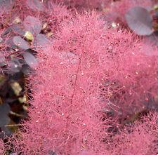 Purple Smoketree, Cotinus coggygria atropurpurea, Seeds (Fast Showy, Fall Color)