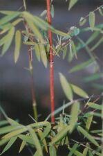 Fargesia nitida (species) Jiuzhaigou - Jade-Bambus - Hecken-Bambus - 80-100 cm