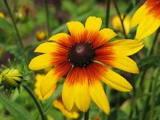 Gloriosa Daisy Seeds, Black-Eyed Susan, NON-GMO, Variety Sizes, FREE SHIPPING