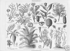 Zuckerrohr Bambus Akazie Mahagoni STICHE von 1905