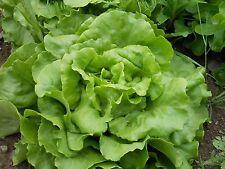 Lettuce Seed: Bibb Butterhead Lettuce seeds Fresh Seed Free Shipping