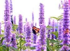 Nützliche Schmetterlinge anlocken! Schmetterlingsblume
