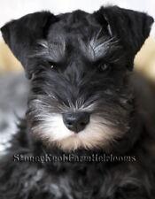 Miniature Schnauzer Puppy ~ Dogs ~ Cross Stitch Pattern