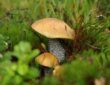Lactárius detérrimus dry grain mycelium 10 g or 30 g
