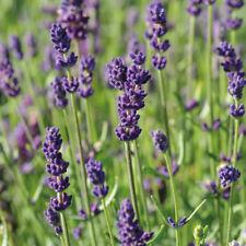 Lavender Fragrant Hardy Shrub Garden Plant Hidcote 3.6L Nursery Potted Plant T&M