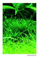 Vivi acquario piante / PELIA / MONOSOLENIUM TENERUM sul filo Mesh / Facile impianto