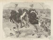 1893 Antique Print Ostrich Farming In California SCARCE