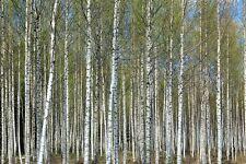 LIBRO Birch Betula papyrifera 50 SEMI-FAVOLOSO corteccia lavorazione per giardino,