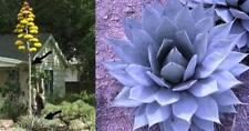 Blaue Agave parryi - winterhart, verträgt auch Nässe - stahlblaue Blätter