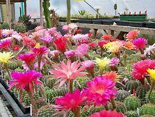 150 semi Echinopsis Trichocereus ibridi CHIC MEX Bex of 2017 fresh seeds