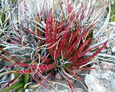 Hechtia Texensis Scariosa * RARE Bromeliad * False Agava * Red Hot Leaf * Seeds