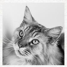 Maine Coon Cat-Calidad de la Tela Cojín Tapicería Artesanía Panel de acolchar