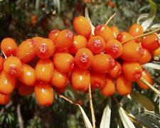 Hippophae rhamnoides Samen, Sanddorn, sea buckthorn, sehr hoher Vitamin C Gehalt