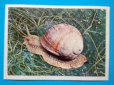 Figurina Panini-ANIMALI DI TUTTO IL MONDO 1965-n.297-CHIOCCIOLA-rec