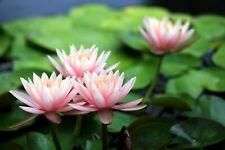 Waf1580-Kiwistar Fleur de Lotus mural en 6 tailles