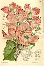 Poster, Many Sizes; Cornus Florida Var. Rubra, Cornaceae 1910