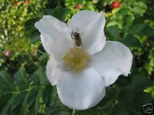 Hagebuttenrose Kartoffelrose Rosa rugosa alba 40-60cm Sommerblüher Fruchtgehölz