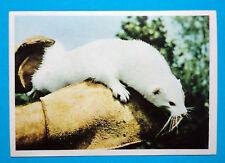 Figurina Panini-ANIMALI DI TUTTO IL MONDO 1965-n.108-VISONE-rec