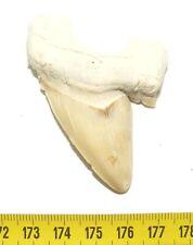 dent de requin Otodus obliquus ( 6.4 cm - 037)