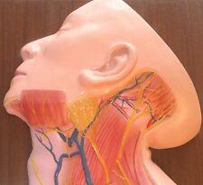 Lifesize human neck superficial muscle blood vessel nerve model  anatomy New