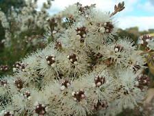 Kunzea ambigua - White Tickbush 30 seeds