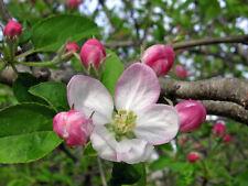 Ambrosial Apple Blossom Aroma Oil for Burner Potpourri Cosmetic India free Ship