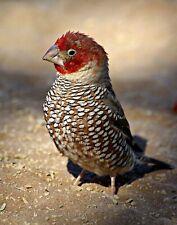 Birds: Red-headed Finch. Bird Art Repro. Made in U.S.A Giclee Prints