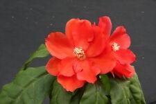 "Pereskia bleo, rare cacti plant abrojo rodocactus spine cactus succulent 4"" pot"