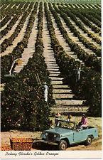 Postcard Florida Picking Oranges Agriculture MINT
