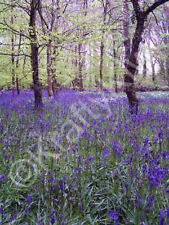 Lanhydrock Bluebell Woods Cornwall Art Photo Canvas (UK)