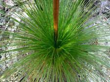 Fresh Quality Black Boy Tree Seeds Xanthorrhoea Preissii Hardy Native Plant Seed