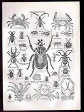 COLEOPTERA - Beetles - Crabs 1906 Natural History Print