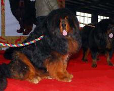 Tibetan Mastiff Rope Pet Dog Training Color Spring Slip Leash Lead Collar Chain
