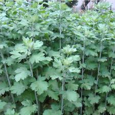 Herb Seeds Vanilla Coriander Wormwood Canola Herbs Sativa Garden Herb