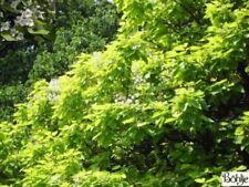 Catalpa bignonioides Aurea - Gold-Trompetenbaum