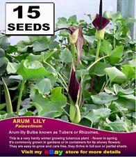 BLACK  ARUM Lily *- ARUM Palaestinum-  15x SEEDS