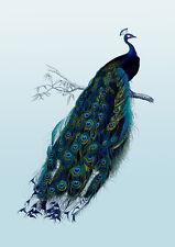 Vintage Peacock poster art print