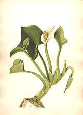129 ~ WILD MARSH CALLA BOG ARUM ~ Mary Walcott 1925 Flower Botanical Art Print