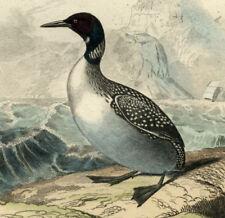 GREBE HUPPE LE CASTAGNEU L IMBRIM Oiseau gravure 1835