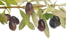 Manzanilla Olive Tree Live Plant Cold Hardy Fruit  1-2'