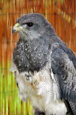 Chilean Eagle Black Chested Buzzard Eagle photograph picture photo poster print
