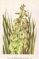 1950's Vintage Yucca Navajoa Soapweed Spanish Bayonet Plant Botanical Art Print