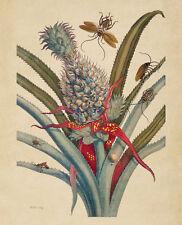 "Maria Sibylla Merian : ""Pineapple with Cockroaches"" (1705) — Fine Art Print"