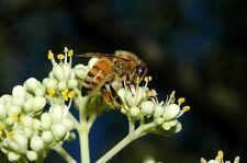 Bee Tree ( Euodia , Evodia,Tetradium,Honey tree)- 200/750/2500/6000 Seeds + Gift