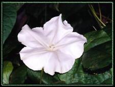 moonflower, Night Blooming Vine, white flower, fragrant, 40 Seeds!#