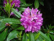 Rosebay Rhododendron, Rhododendron maximum, Shrub Seeds (Showy Evergreen)